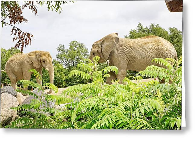 Elephants Thika And Toka At The Toronto Zoo Greeting Card