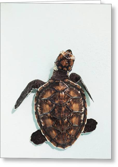 Elevated View Of Baby Sea Turtle, Old Greeting Card