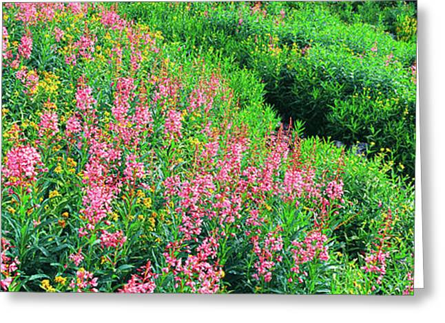 Elevated View Of Fireweed Chamerion Greeting Card