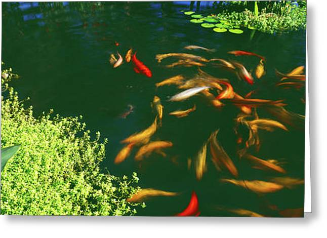 Elevated View Of School Of Koi Fish Greeting Card by Panoramic Images
