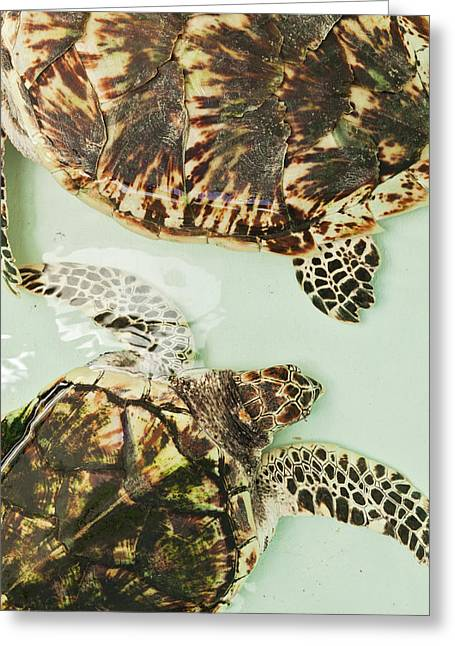 Elevated View Of Sea Turtles, Old Hegg Greeting Card