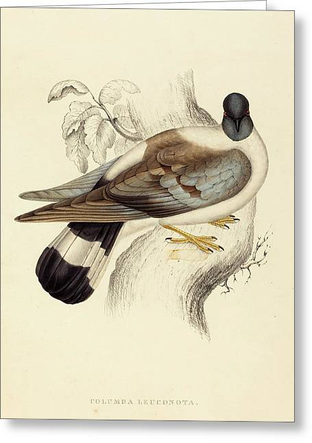 Elizabeth Gould British, 1804 - 1841, Columba Leuconota Greeting Card