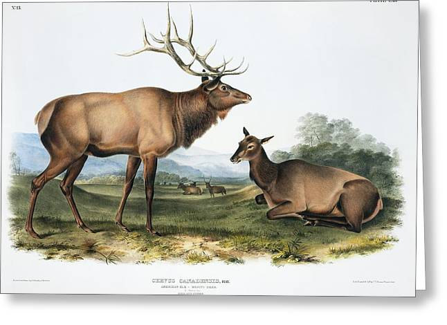 Elk, 19th Century Artwork Greeting Card by Science Photo Library