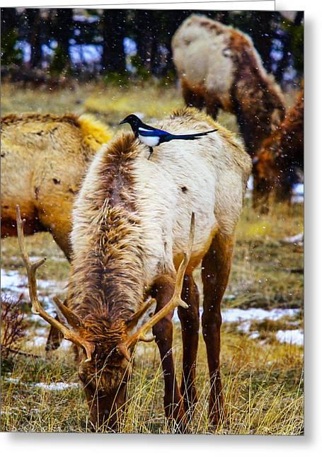 Elk And Magpie Greeting Card by Juli Ellen
