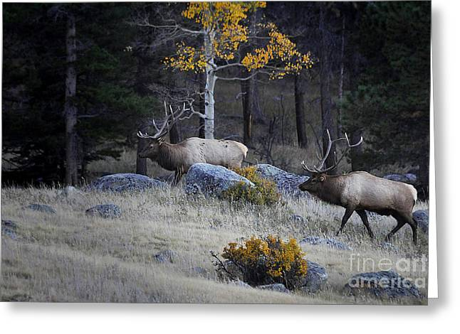 Elk Battle Stalk Greeting Card