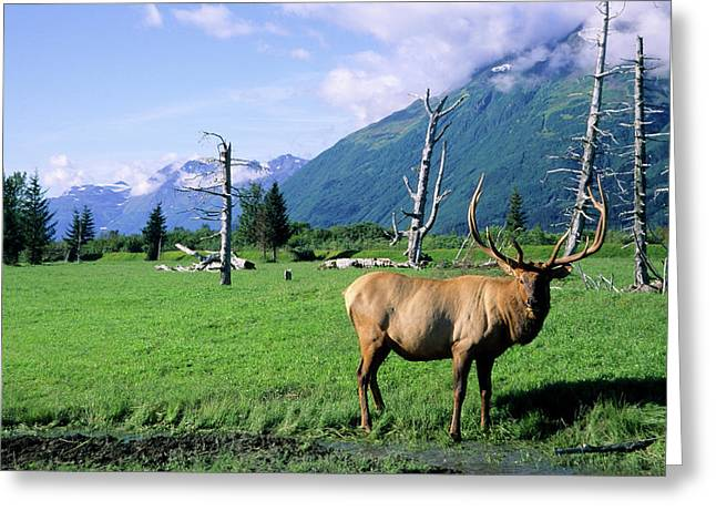 Elk Bull Standing In A Grass Meadow Greeting Card