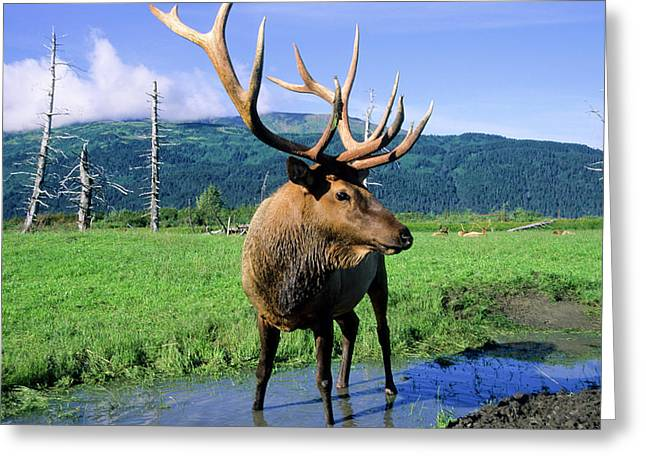 Elk Bull Standing In A Small Stream Greeting Card