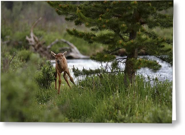 Elk Calf Greeting Card