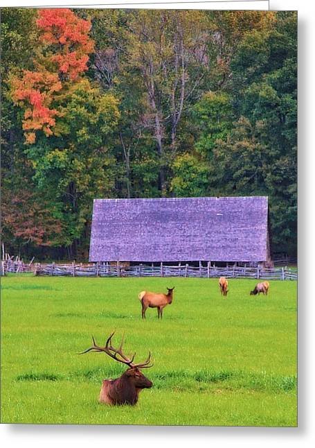 Elk During The Rut In Tennessee Greeting Card by Dan Sproul