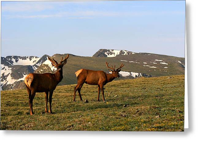 Elk Feeding Greeting Card by Rebecca Adams