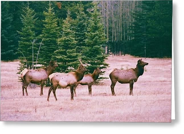 Elk In Canada Greeting Card by Richard Jenkins