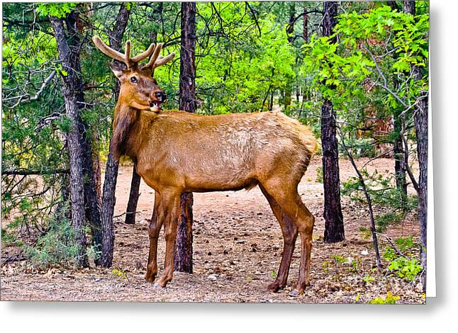 Elk In Canyon National Park Greeting Card by Bob and Nadine Johnston