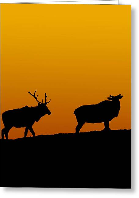 Elk In The Sunset Greeting Card