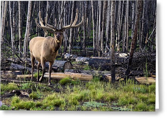 Elk In The Woods Greeting Card