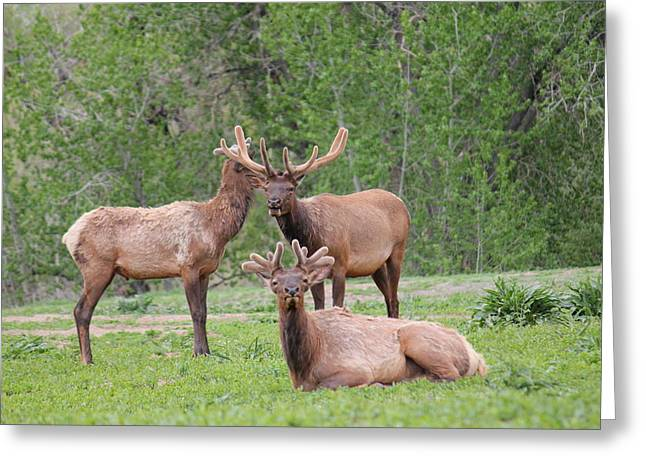 Elk In Velvet Greeting Card by Trent Mallett