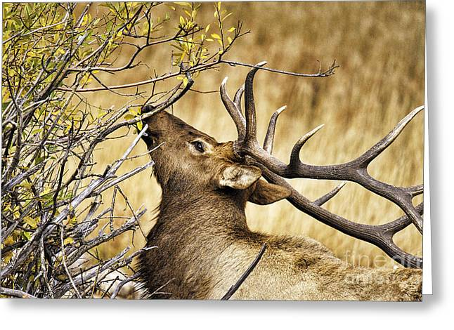 Elk Portrait Greeting Card