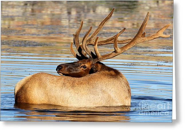 Elk Velveteen  Greeting Card