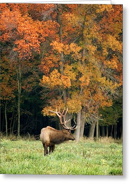 Elk With Autumn Colors Greeting Card