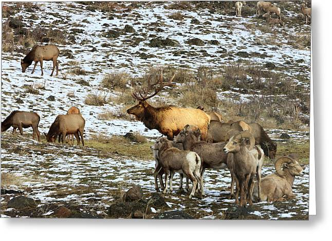 Elk With Big Horn Sheep, Oak Creek Greeting Card