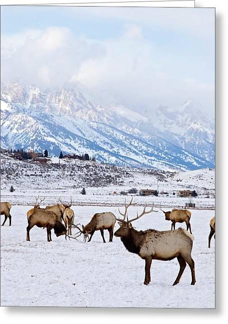 Elks In Winter Greeting Card by Jim West