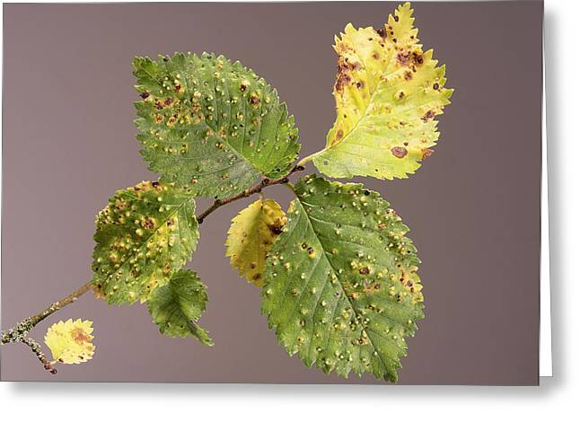 Elm Gall Greeting Card by Sheila Terry
