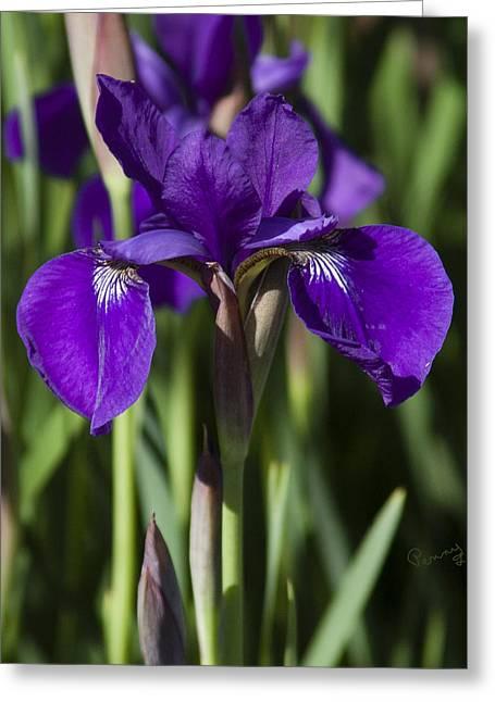 Eloquent Iris Greeting Card