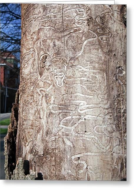 Emerald Ash Borer Tracks On Dead Tree Greeting Card