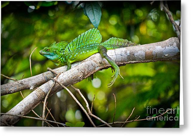 Emerald Lizard - Costa Rica Greeting Card by Gary Keesler