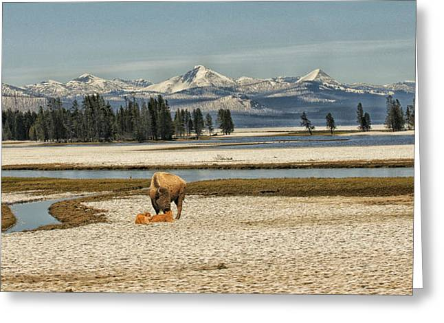 Emergence Of Spring - Yellowstone Greeting Card