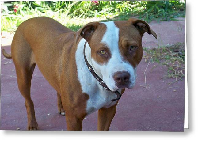 Emma The Pitbull Dog Greeting Card