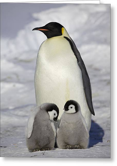 Emperor Penguin And Two Chicks Greeting Card by Frederique Olivier