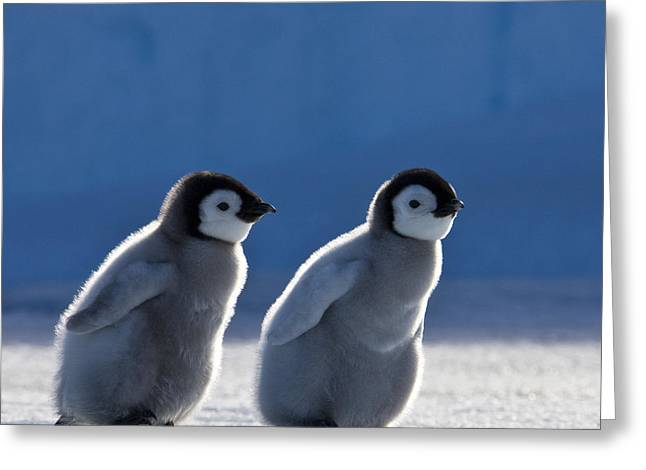 Emperor Penguin Chicks Greeting Card by Jean-Louis Klein and Marie-Luce Hubert