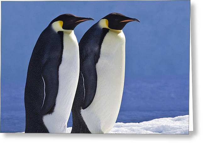 Emperor Penguin Couple Greeting Card by Jean-Louis Klein and Marie-Luce Hubert
