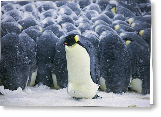 Emperor Penguin Trying To Get Greeting Card by Frederique Olivier