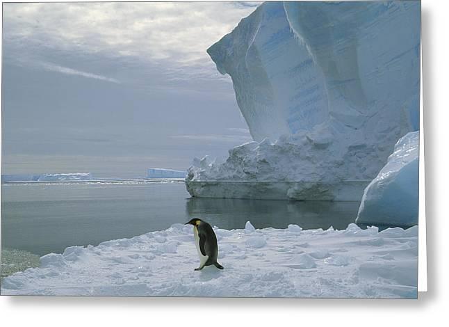 Emperor Penguin Walking Weddell Sea Greeting Card by Tui De Roy