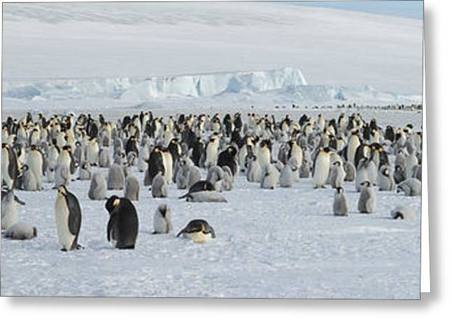Emperor Penguins Aptenodytes Forsteri Greeting Card by Panoramic Images