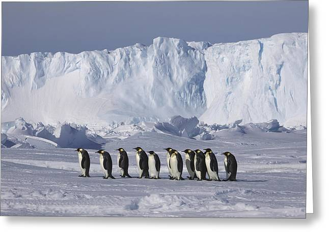 Emperor Penguins Walking Antarctica Greeting Card by Frederique Olivier