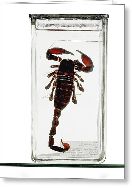 Emperor Scorpion Specimen Greeting Card by Ucl, Grant Museum Of Zoology