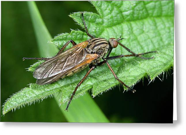 Empid Fly Greeting Card by Nigel Downer