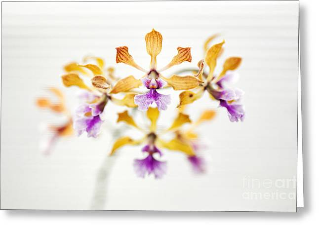 Encyclia Orchid Greeting Card by Tim Gainey