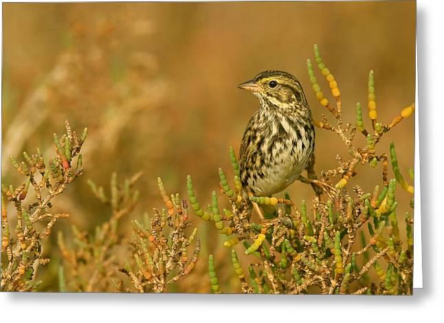 Endangered Beldings Savannah Sparrow - Huntington Beach California Greeting Card