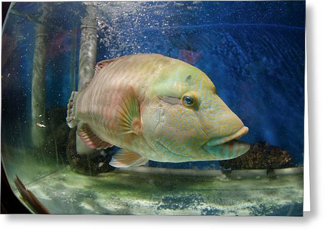 Endangered Humphead Wrasse For Sale Greeting Card
