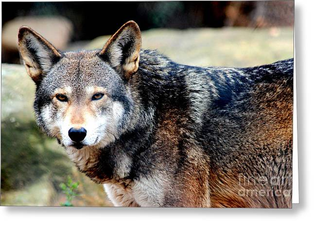 Endangered Red Wolf Greeting Card by Kathy  White