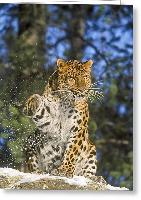 Endantered Leopard Greeting Card