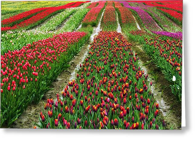 Endless Waves Of Tulips Greeting Card