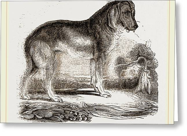 English Blood-hound Greeting Card