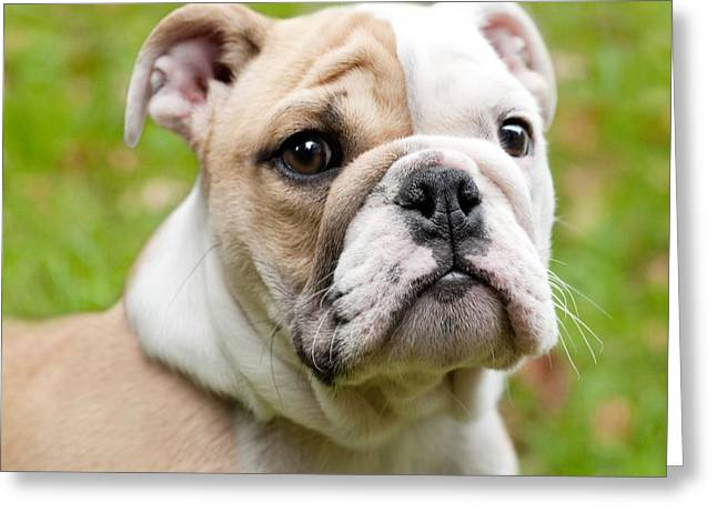 English Bulldog Puppy Greeting Card