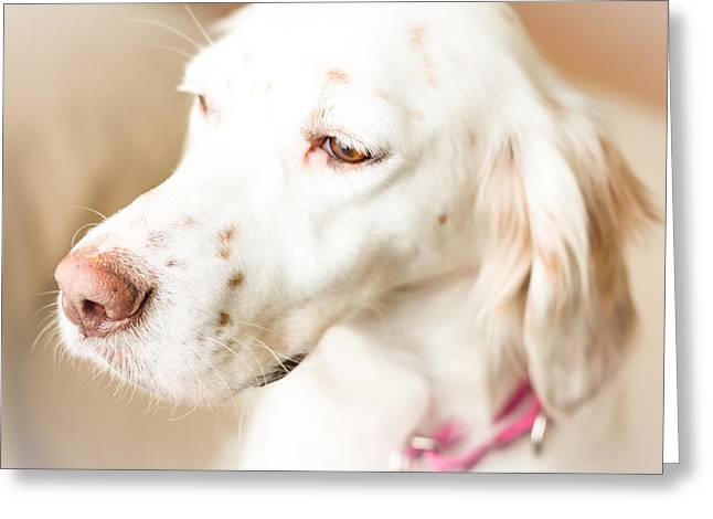 English Setter In Natural Light Greeting Card by Brian Caldwell