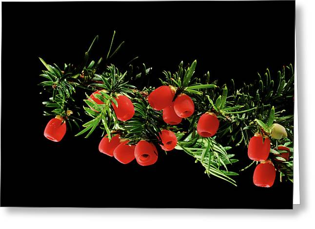 English Yew (taxus Baccata) Berries Greeting Card by Gilles Mermet