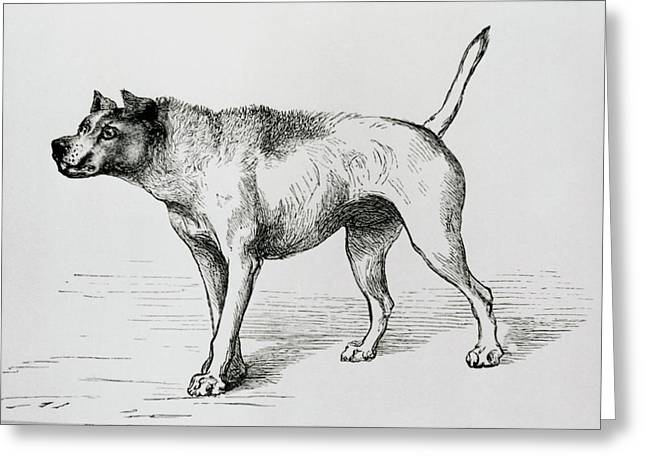 Engraving Of An Aggressive Dog Greeting Card by Science Photo Library